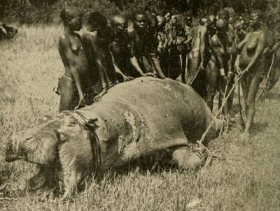 Ugandan tribesmen dragging a hippo shot six times in the head to their village for food